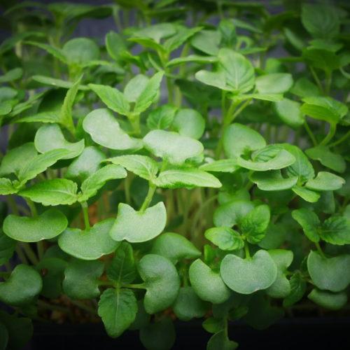 Shiso Vert 2