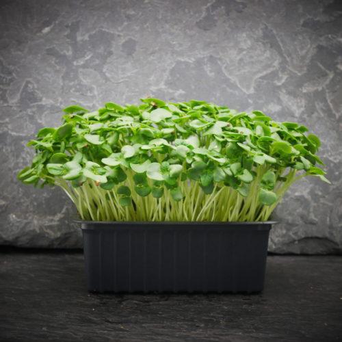 Shiso Vert 4