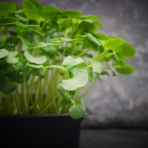 Shiso vert 3