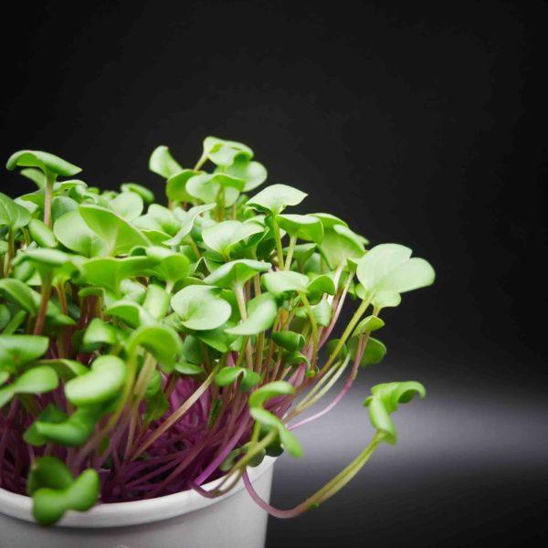 Kit de culture micro pousses de radis